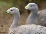 Cereopsis Geese at the Sedgwick County Zoo Photographic Print by Joel Sartore