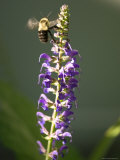 Bumblebee Hovers Around Purple Salvia Flowers, Elkhorn, Nebraska Photographic Print by Joel Sartore