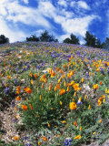 California Poppies and Lupins on a Hill During the Spring Photographic Print by James Forte