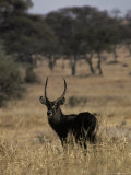 Cape Waterbuck Stands Alert on a Savannah Grassland Photographic Print by Jason Edwards