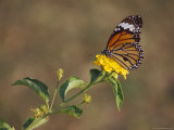 Butterfly Feeds on Bright Yellow Flowers in an Ornamental Garden Photographic Print by Jason Edwards