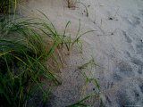 Close-Up of Aquatic Grasses on a Sand Dune, Block Island, Rhode Island Photographic Print by Todd Gipstein