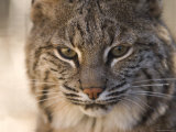 Bobcat at the Rolling Hills Zoo Photographic Print by Joel Sartore