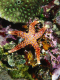 Colorful Seastar Laying on Cean Reef Floor Photographic Print by James Forte