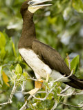 Brown Booby, Belize Photographic Print by Tim Laman