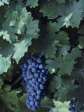 Cabernet Sauvignon Grapes, Virginia Photographic Print by Kenneth Garrett