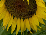 Close View of a Sunflower in Tuscany, Italy Photographic Print by Todd Gipstein
