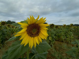 Close View of a Sunflower in a Field of Sunflowers, Tuscany, Italy Photographic Print by Todd Gipstein