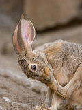 Black-Tailed Jackrabbit Inside the Desert Dome at the Omaha Zoo, Nebraska Photographic Print by Joel Sartore