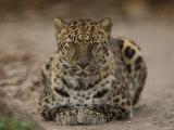 Amur Leopard Photographic Print by Joel Sartore