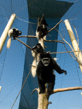 Black and White Colobus Monkey at the Sunset Zoo Photographic Print by Joel Sartore