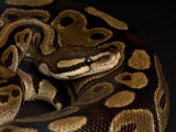 Ball Python at the Sunset Zoo in Manhattan, Kansas Photographic Print by Joel Sartore