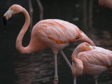 Carribean Flamingoes at the Sedgwick County Zoo, Kansas Photographic Print by Joel Sartore