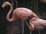 Carribean Flamingoes at the Sedgwick County Zoo, Kansas Photographic Print by Joel Sartore