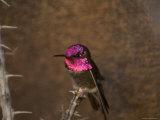 Anna's Hummingbird at the Omaha Zoo, Nebraska Photographic Print by Joel Sartore