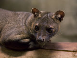 Fossa from the Henry Doorly Zoo's Desert Dome, Omaha Zoo, Nebraska Photographic Print by Joel Sartore