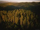 Afternoon Sunlight Bathes Redwood Trees, California Lámina fotográfica por Blair, James P.