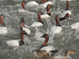 Canvasback Ducks in a Feeding Frenzy Photographic Print by George Grall