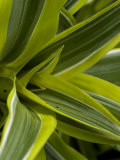 Close-Up of a Green Veriagated Plant, Groton, Connecticut Photographic Print by Todd Gipstein