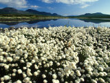 Cottongrass Along the Margins of a Tundra Lake, Alaska Fotografie-Druck von Michael S. Quinton