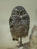 Burrowing Owl from the Toledo Zoo Photographic Print by Joel Sartore
