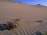 Fire Weed Clings to the Side of a Sand Dune Photographic Print by Bill Hatcher