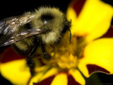 Close-Up of a Bee on a Flower, Groton, Connecticut Fotoprint van Todd Gipstein