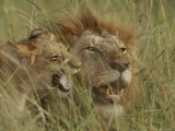 Adult Male and Juvenile Lion in Grass Photographic Print by Michael Nichols