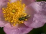 Carolina Rose with a Pollinating Insect, Baraboo, Wisconsin Fotoprint van Joel Sartore