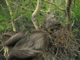 Great Grey Owl with Prey of Red Squirrel in Nest, Alaska Fotografie-Druck von Michael S. Quinton