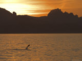 Bottlenose Dolphin Jumping, Sea of Cortez, Baja California, Mexico Photographic Print by Ralph Lee Hopkins