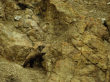 Grizzly Bear Pauses to Reconsider Route Through Cliffs, Alaska Fotografie-Druck von Michael S. Quinton