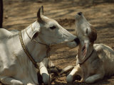 Brahman Cow Cleaning Her Calf Photographic Print by James L. Stanfield