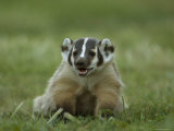 Hand-Raised Badger at the Home of a Wildlife Rescue Network Worker Photographic Print by Joel Sartore