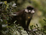 Close View of a Yellow-Nosed Monkey Balanced on a Branch Photographic Print by Michael Nichols