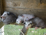 Baby Opossums on a Farm in Greenleaf, Kansas Photographic Print by Joel Sartore