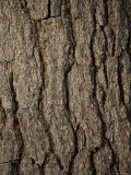 Close-Up of Bark of White Pine Tree, Lexington, Massachusetts Photographic Print by Tim Laman