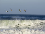 Four Brown Pelicans Flying above the Surf, California Fotografisk tryk af Rich Reid