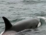 Killer Whale in Johnstone Strait near Vancounver Island Photographic Print by Ralph Lee Hopkins