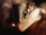 Endangered Leadbeaters Possum Gently Held in a Human Hand, Yellingbo Nature Reserve, Australia Photographic Print by Jason Edwards