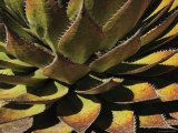Agave Species High on a Mountain Ridge, Mexico Photographic Print by George Grall