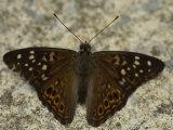Hackberry Emperor Butterfly Sits on the Ground Fotoprint van Stephen Alvarez