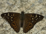 Hackberry Emperor Butterfly Sits on the Ground Photographic Print by Stephen Alvarez