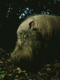 Bearded Swine, Borneo Photographic Print by Mattias Klum