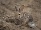 Desert Cottontail Rabbit at the Henry Doorly Zoo, Omaha Zoo, Nebraska Papier Photo par Joel Sartore