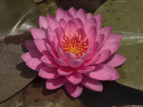 Beautiful Pink Waterlily in a Pond Photographic Print by George Grall