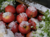 Close-Up of Apples Covered with Snow, Copenhagen, Denmark Photographic Print by  Brimberg & Coulson