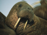 Adult Female Walrus, Alaska Photographic Print by Bill Curtsinger