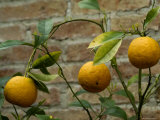 Close-Up of Lemons Growing on a Tree, Asolo, Italy Photographic Print by Todd Gipstein