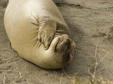 Elephant Seal Cow on the Beach at Piedras Blancas, Big Sur, California Photographic Print by Rich Reid